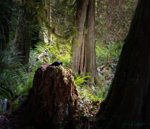 Vancouver Island woodland photography
