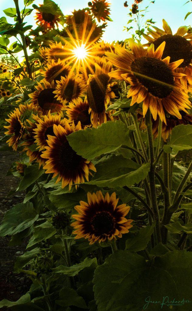 sunflowers sunset vancouver island